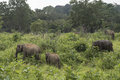 Elephants Safari in Polonnaruwa, Sri Lanka. Royalty Free Stock Photo