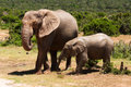Elephants in savanna Stock Photos