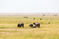 Elephants on the savanna Royalty Free Stock Photo