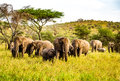 Elephants in the serengeti means endless swahili Royalty Free Stock Image