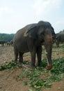 Elephants in sri lanka big Stock Photo