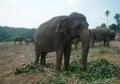 Elephants in sri lanka big Stock Image