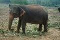 Elephants in sri lanka big Royalty Free Stock Images