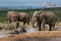 Elephants swim spray mud grey african and at a waterhole in addo region in south africa Royalty Free Stock Images