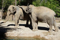 Elephants two asian play together Stock Image