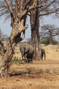 Elephants under an African Tree Royalty Free Stock Photography