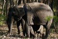 Elephants are walking in the forest along with baby elephant Royalty Free Stock Image