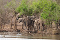 Elephants by a waterhole african bush having drink under the trees hlane royal national park swaziland Royalty Free Stock Photo