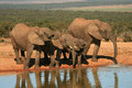 Elephants at waterhole drinking a in addo elephant national park in south africa Royalty Free Stock Image