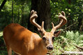 Eleven Point Whitetail Buck Royalty Free Stock Photos