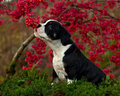 Eleven weeks old female puppy old english bulldog tricolor smells of berries on a euonymus europaeus Royalty Free Stock Photography