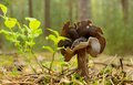 Elfin saddles helvella commonly known as growing in the forest Royalty Free Stock Images