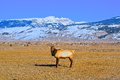 Elk buck in elk refuge jackson hole striking the pasture of the wyoming Royalty Free Stock Image