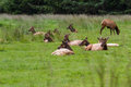 Elk in california herd of roosevelt laying down on fresh green grass northern Royalty Free Stock Image