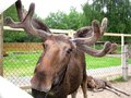 Elk farm huge elks live on the care and care for the animals Royalty Free Stock Photo