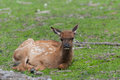 Elk fawn a resting in the grass Royalty Free Stock Photos