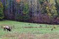 Elk in the field grazing fall along with wild turkeys Royalty Free Stock Images