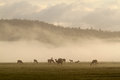 Elk in fog Royalty Free Stock Photo