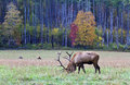 Elk Grazing on Grass Stock Image