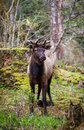 Elk in the habitat olympic national park Royalty Free Stock Images