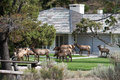 Elk herd an visiting a residential home Stock Image