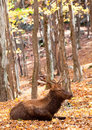 Elk lying down on a fall day male is in the forest Stock Image