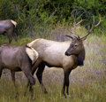 Elk, Rocky Mountain National Park, Colorado Royalty Free Stock Photo