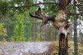 Elk skull Royalty Free Stock Photography