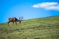Elk on the Tundra Royalty Free Stock Photo