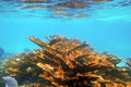 Elkhorn coral reef in Quintana Roo Mexico Royalty Free Stock Images