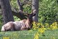 Elks antlers in velvet Stock Images