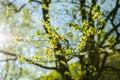 Elm Flowers, Spring