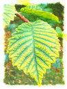 Elm Leaf Watercolor Stock Photography