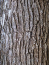 Elm tree bark ridged of Stock Photo