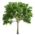 Elm tree isolated on white Stock Photography