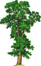 Elm tree. Vector Royalty Free Stock Image