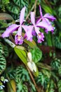 Elongated orchid an exotic breed of purple orchids Royalty Free Stock Photo