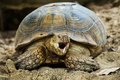 Elongated tortoise indotestudo elongata in a zoo Royalty Free Stock Images
