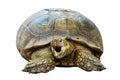 Elongated tortoise indotestudo elongata in the zoo Royalty Free Stock Photography