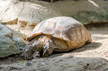 Elongated tortoise indotestudo elongata in zoo Royalty Free Stock Images