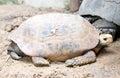 Elongated tortoise turtle scientific name indotestudo elongata Stock Photography