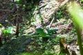 Emerald basilisk lizard in Costa Rica Royalty Free Stock Photo