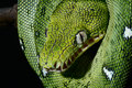 Emerald boa green constrictor snake wild animal Royalty Free Stock Photo