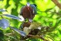 Emerald dove fågel Arkivfoton
