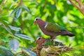 Emerald dove oder chalcophaps indica Lizenzfreie Stockfotos