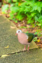 Emerald Dove Portrait Royalty Free Stock Photo