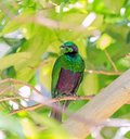 Emerald Green Starling Royalty Free Stock Photo