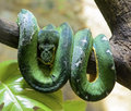 Emerald Tree Boa Royalty Free Stock Photo