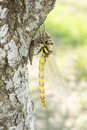 Emerged dragonfly in vertical Royalty Free Stock Photo