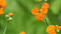 Emilia javanica or irish poet orange flowers with a blurred green background this is an annual plant Royalty Free Stock Image